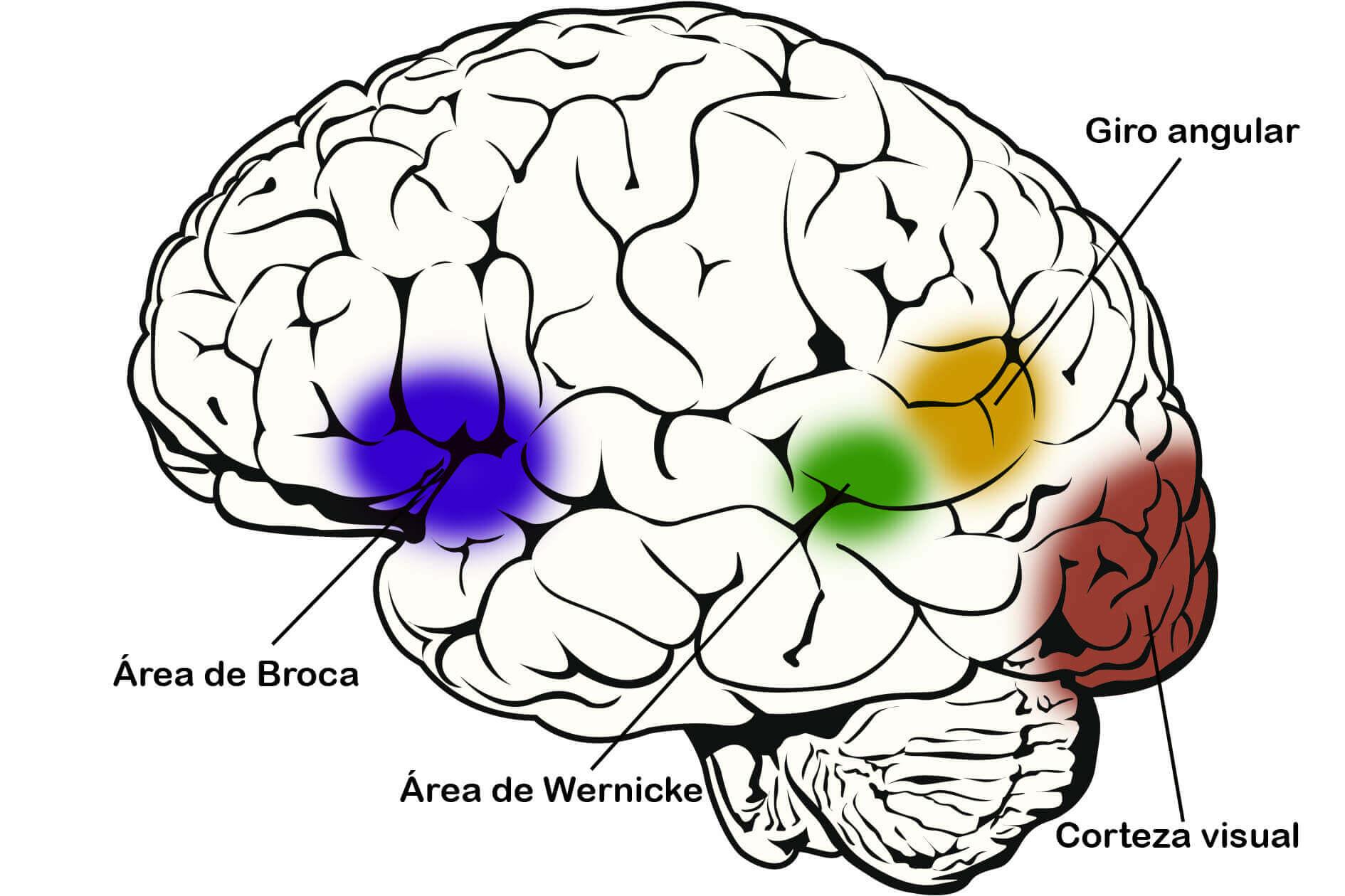 lectura biológica - partes del cerebro implicada en el proceso lector
