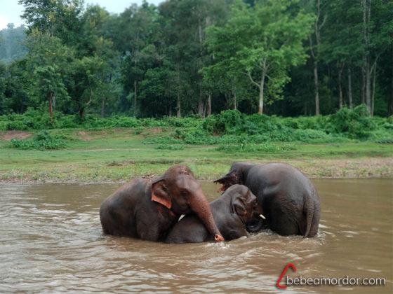 elefantes bañándose en Elephant Nature Park