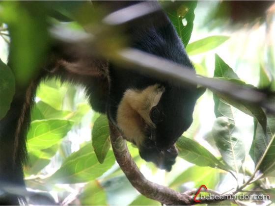 ardilla gigante negra cogiendo un fruto con las manos