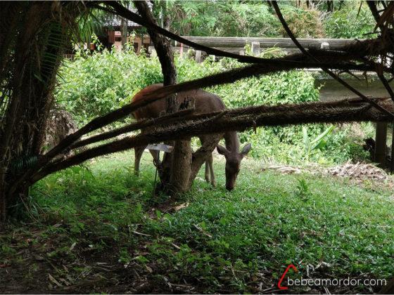 ciervo en parque nacional de Khao yai, ideal para niños en Tailandia