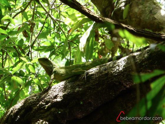 especie de lagarto