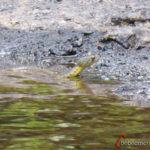 serpiente de agua en Khao Yai